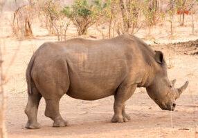 Rhino_Sarah_Kerr Nguni Lodge Victoria Falls